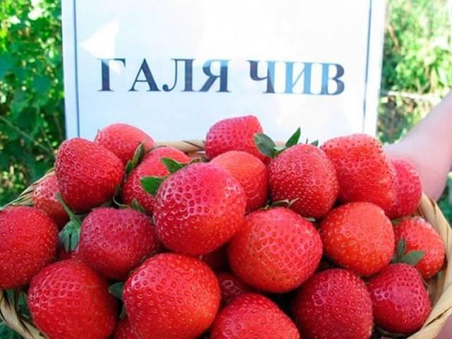 Десертные сорта земляники – основа современных технологий промышленного производства ягод  |  аппяпм