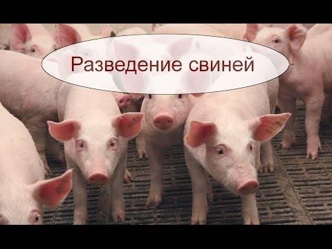 Бизнес план разведения уток на мясо