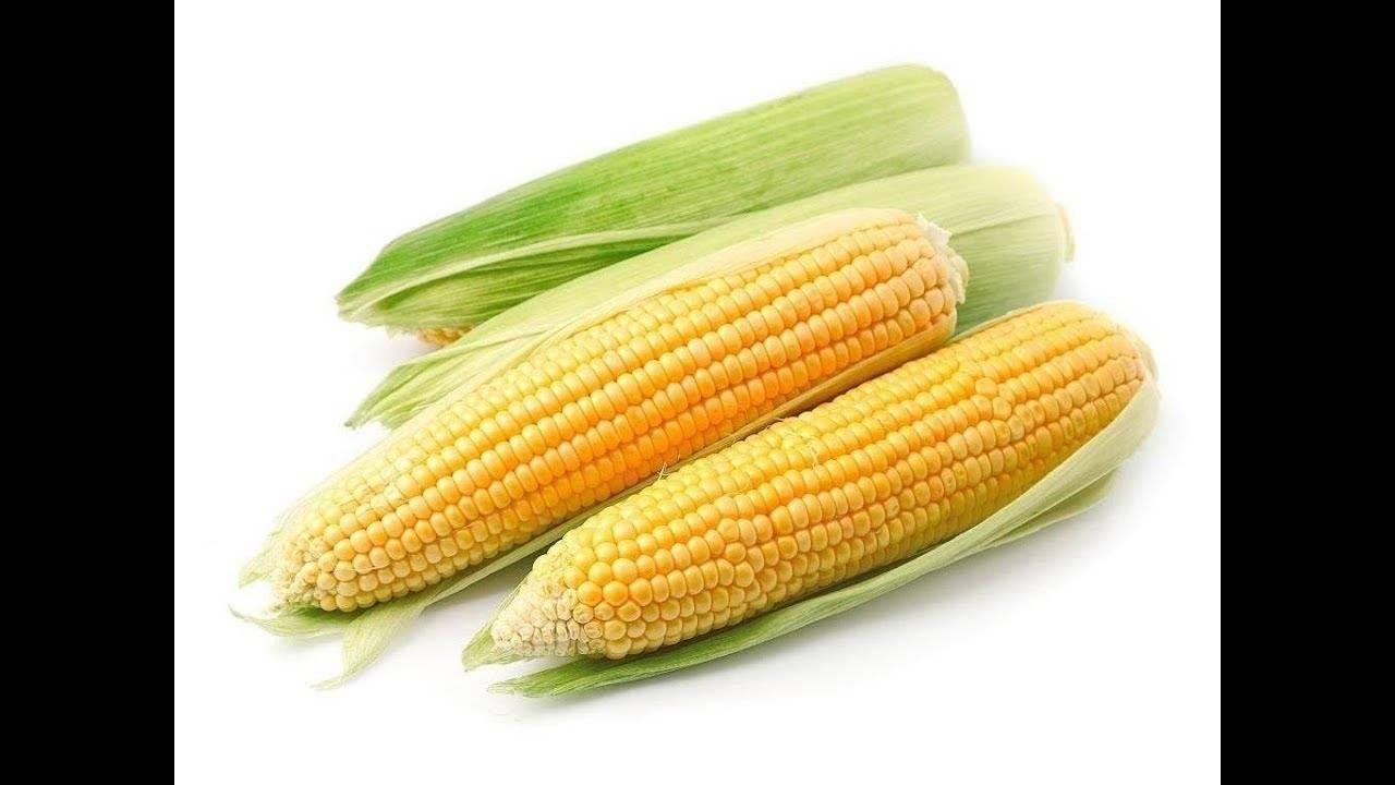 Особенности выращивания сахарной кукурузы в теплице