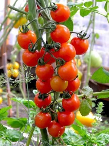 Когда высаживать помидоры в открытый грунт – 8 важных моментов и описание процесса