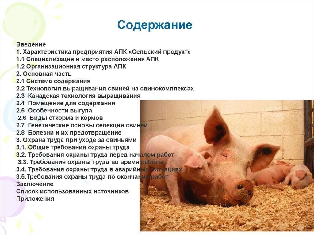Правила разведения свиней в домашних условиях для начинающих
