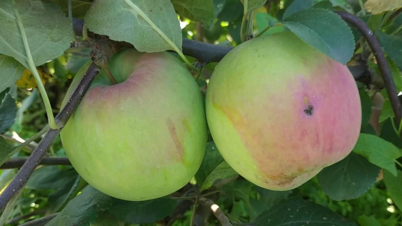 Яблоня анис свердловский: описание сорта, фото и характеристики