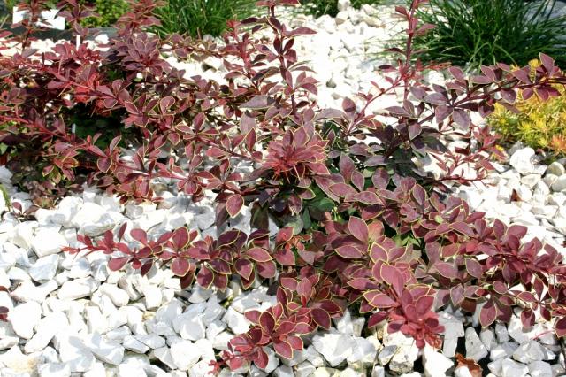 Декоративный кустарник барбарис – посадка, уход, сорта с фото, размножение