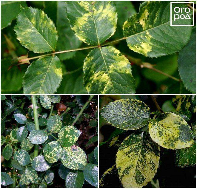 Какие могут быть заболевания у мальвы: почему желтеют, сохнут листья, появляется гниль