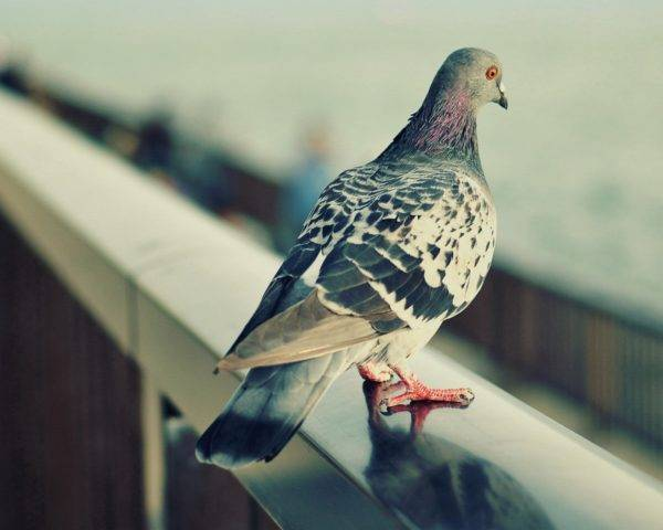 Как избавиться от голубей на балконе и чердаке