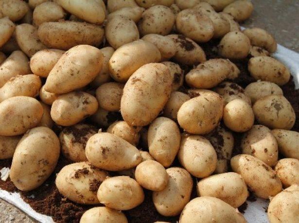 Сорт картошки скарб: описание сорта, полезные свойства, отзывы
