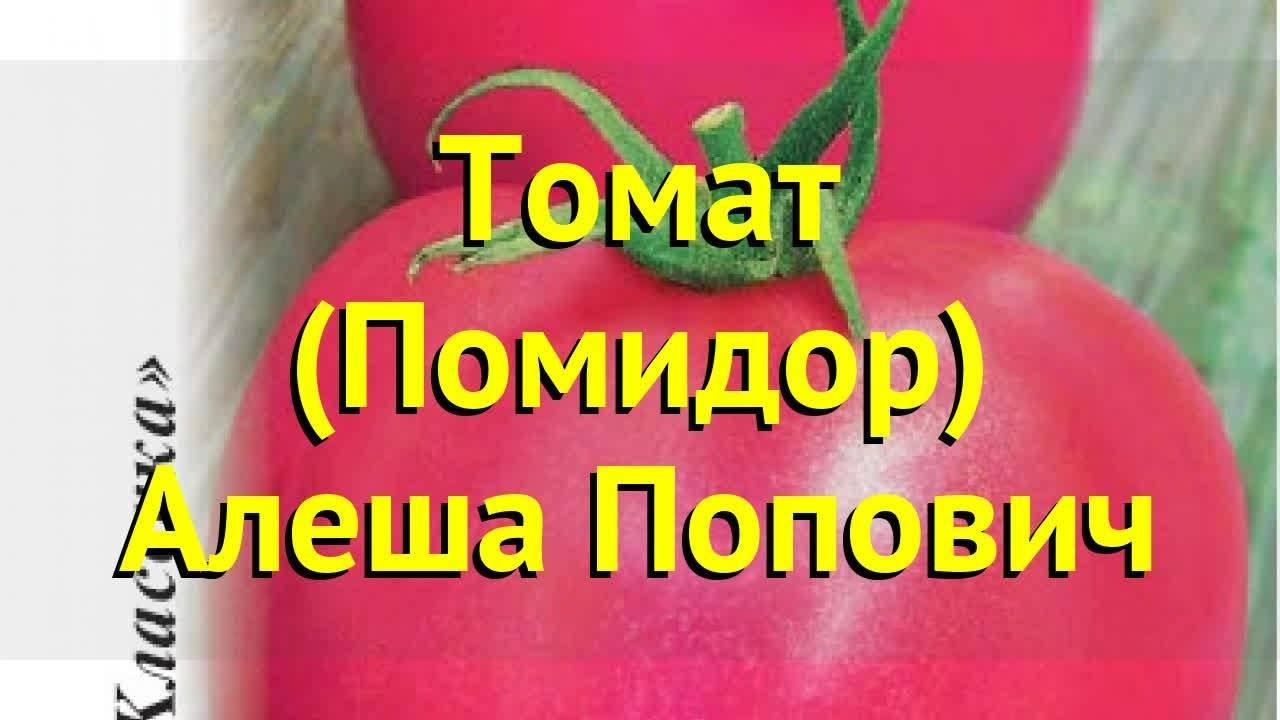 Томат алеша попович: 7 особенностей и 12 советов по посадке и уходу