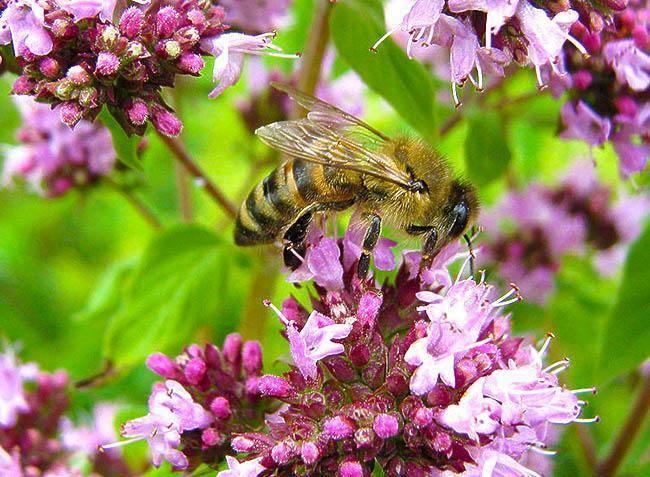 Медоносные растения средней полосы – обзор и рекомендации пчеловодам
