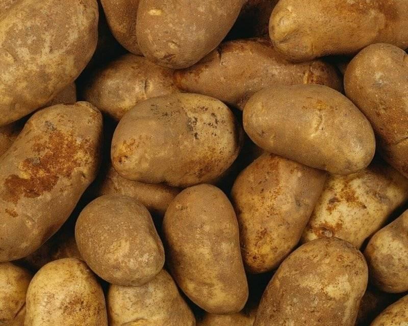 Картофель бриз: подробное описание сорта, выращивание, хранение и фото