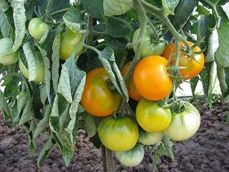 Томат хурма - описание сорта, особенности посадки и ухода
