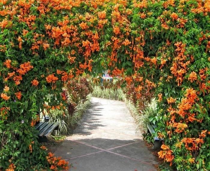 Лучшие многолетние вьющиеся растения для беседки и сада (21 фото)