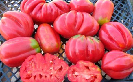 Низкорослые томаты высокой урожайности