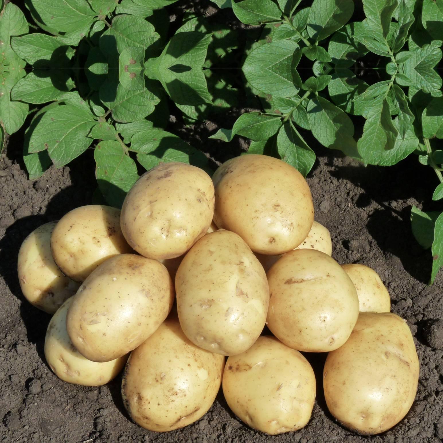 Картофель сифра: описание сорта, фото, отзывы, урожайность, уход