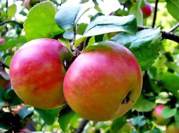 Описание сорта яблони богатыря