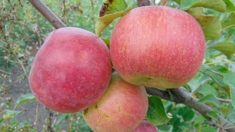 Яблоня бессемянка мичуринская: описание и характеристики сорта с фото