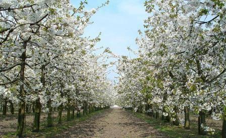 Как сажать вишню весной?