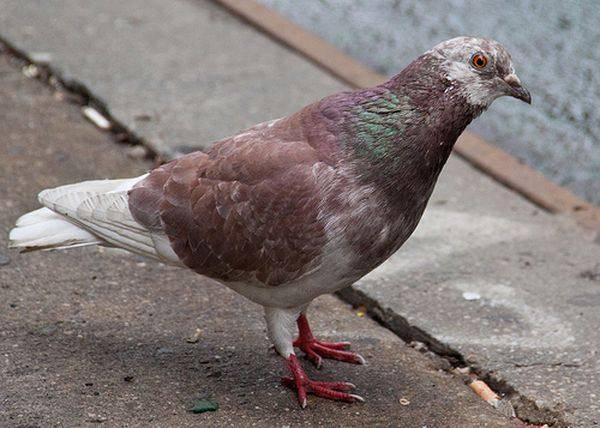 Сколько лет живут голуби в различных условиях