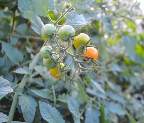 Высадка рассады помидор в открытый грунт в 2020 году: когда и как сажать томаты