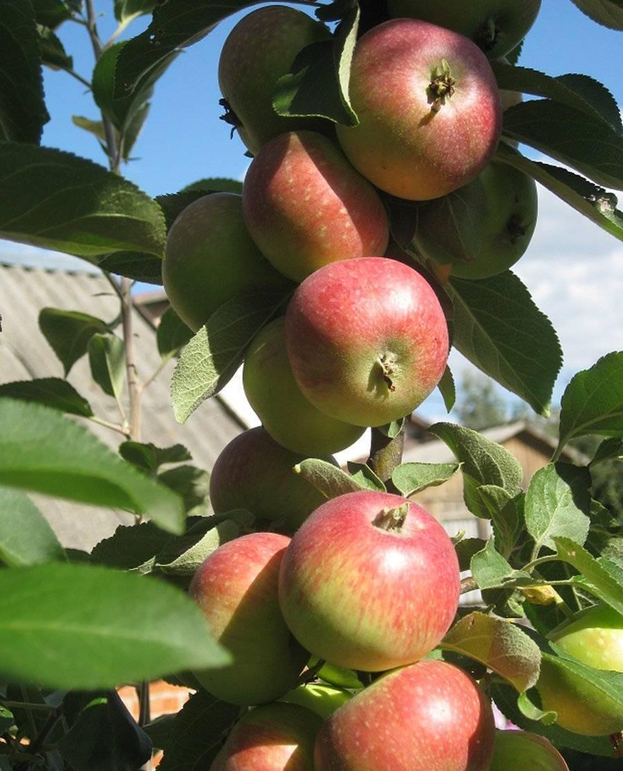 Яблоня чудное: описание сорта, фото, отзывы садоводов