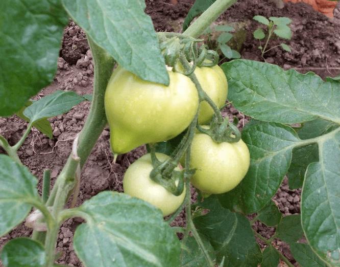 "Томат ""хали-гали"": характеристика и описание сорта, выращивание, фото помидоров"