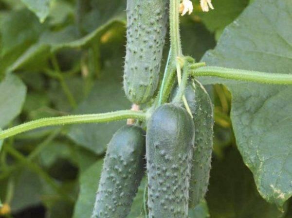 Рекомендуем сорта огурцов для выращивания зимой в теплице