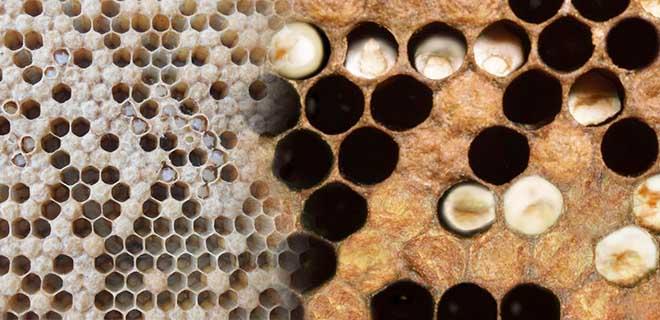 Аскосфероз пчел. лечение известкового расплода