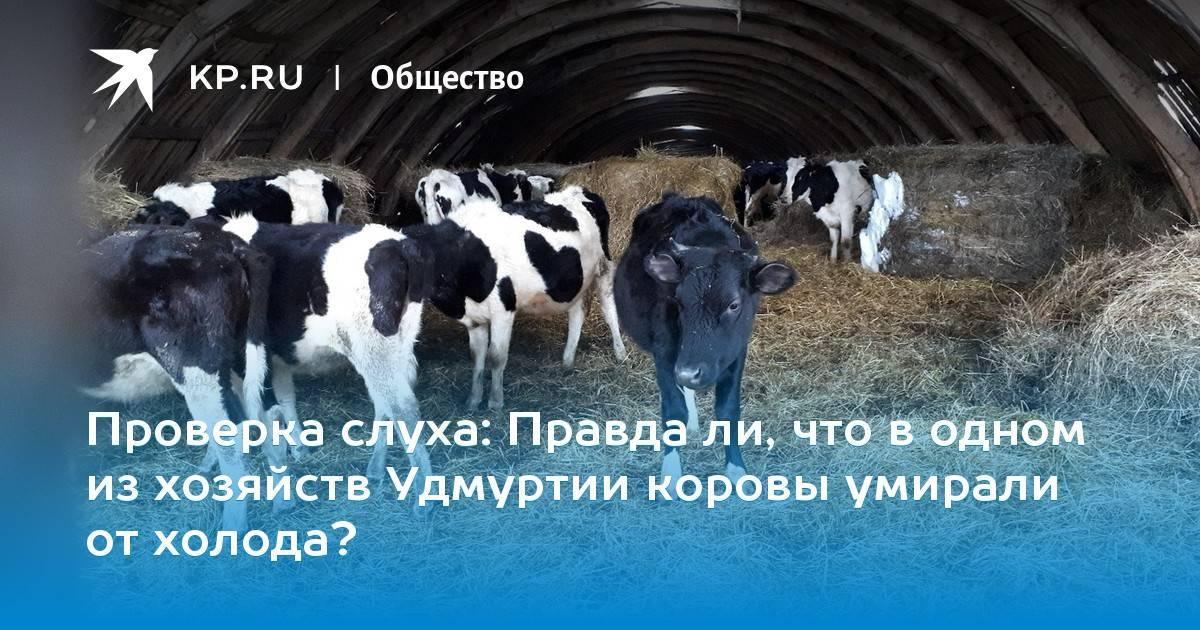 Распространённые болезни конечностей у коров