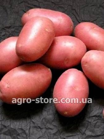 Среднепоздний сорт картофеля алладин: характеристика, описание сорта, фото