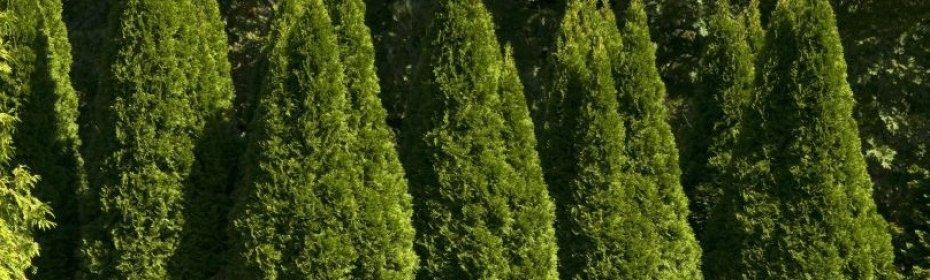 Туя западная 'холмструп', описание, фото, условия выращивания, уход