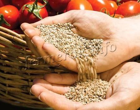 Как собирать семена помидоров правильно. заготовка и хранение семян зимой