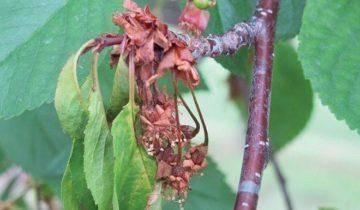 Черешня брянская розовая: описание сорта, фото, отзывы, высота дерева, опылители