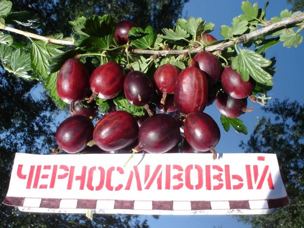 Сорт крыжовника сливовый – ароматные ягоды на вашем участке