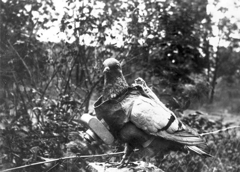 От ветхого завета до наших дней. как обычный голубь стал почтальоном (4 фото)