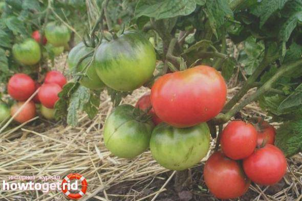 Эксклюзивный сорт с отличной продуктивностью — томат снежно-белый: отзывы об урожайности, описание помидоров