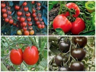 У всех на устах: лучшие сорта томатов для средней полосы россии