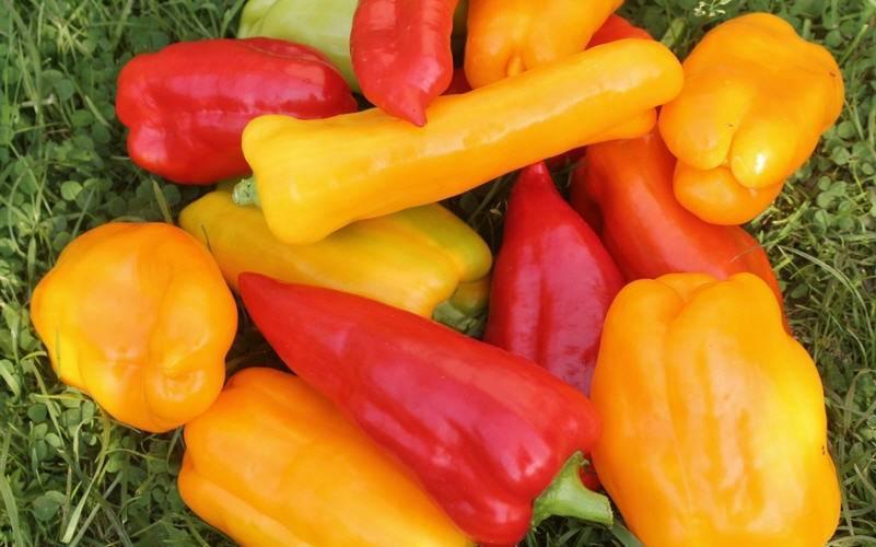 Как выращивать перцы в подмосковье: особенности и правила выращивания