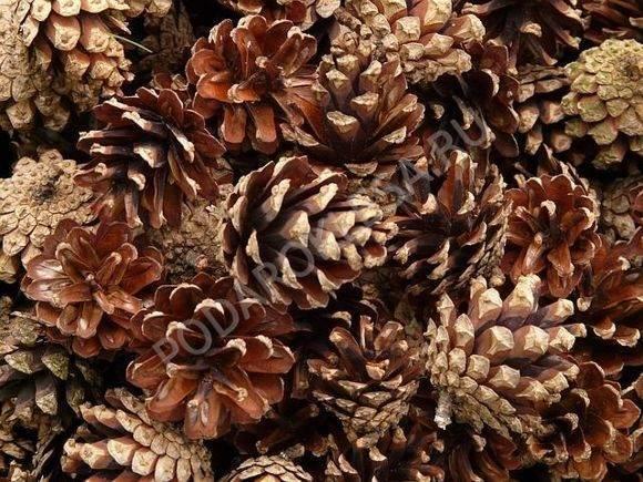 Настойка из сосновых шишек для лечения заболеваний: рецепты приготовления