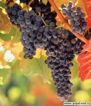 Виды и марки фунгицидов для винограда