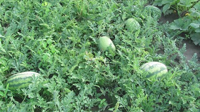 Арбуз продюсер: описание, характеристика и урожайность сорта