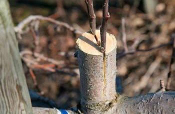 Инструкция: как привить яблоню весной, пошагово с видео