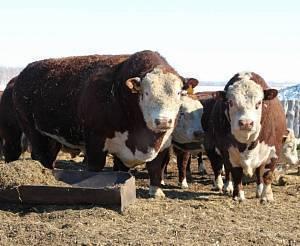 Герефордская (порода коров) — википедия. что такое герефордская (порода коров)