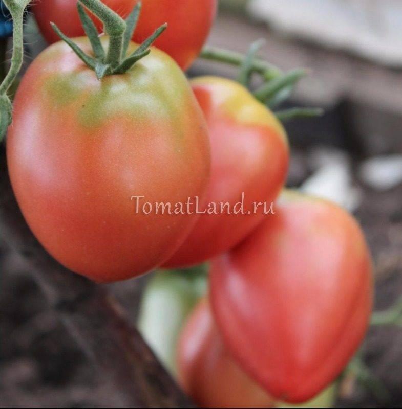 Томат Кемеровец: отзывы, фото, урожайность
