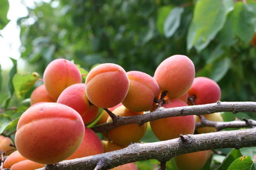 Болезни абрикосовых деревьев и их лечение – фото и описание признаков