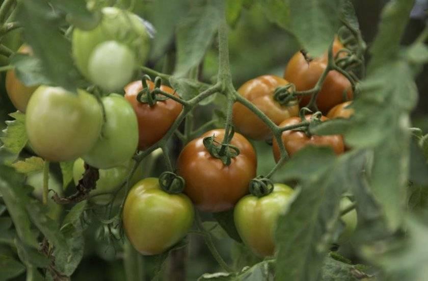 """Томат """"вельможа"""": описание сорта и фото, характеристики, советы как растить помидоры"""