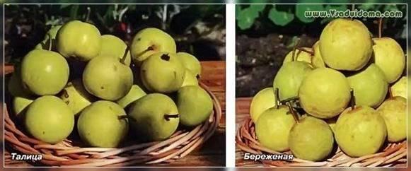 Особенности выращивания груши сорта нарядная ефимова