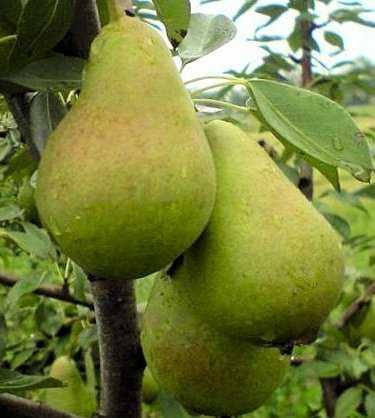 Как вырастить грушу ноябрьская