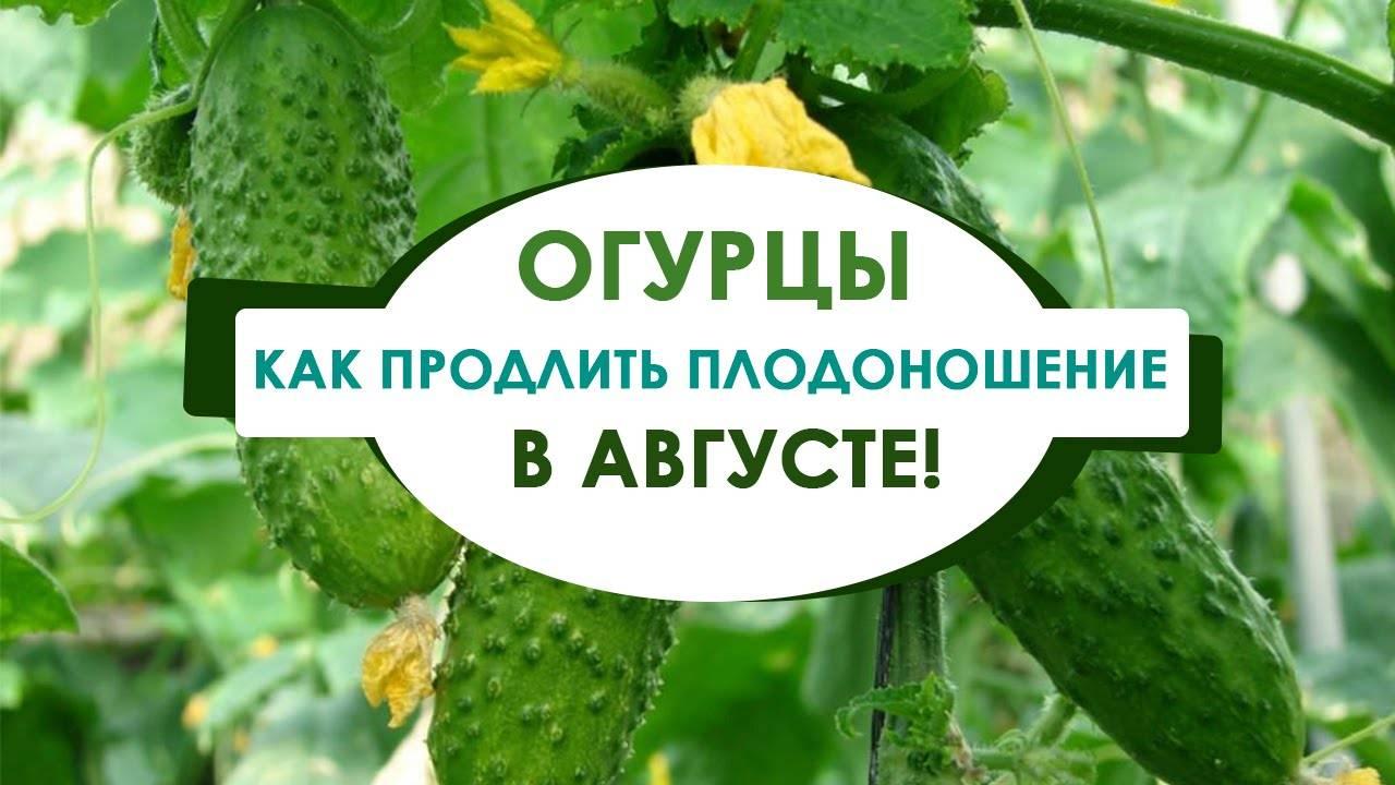 Как увеличить срок плодоношения огурцов: приемы и советы