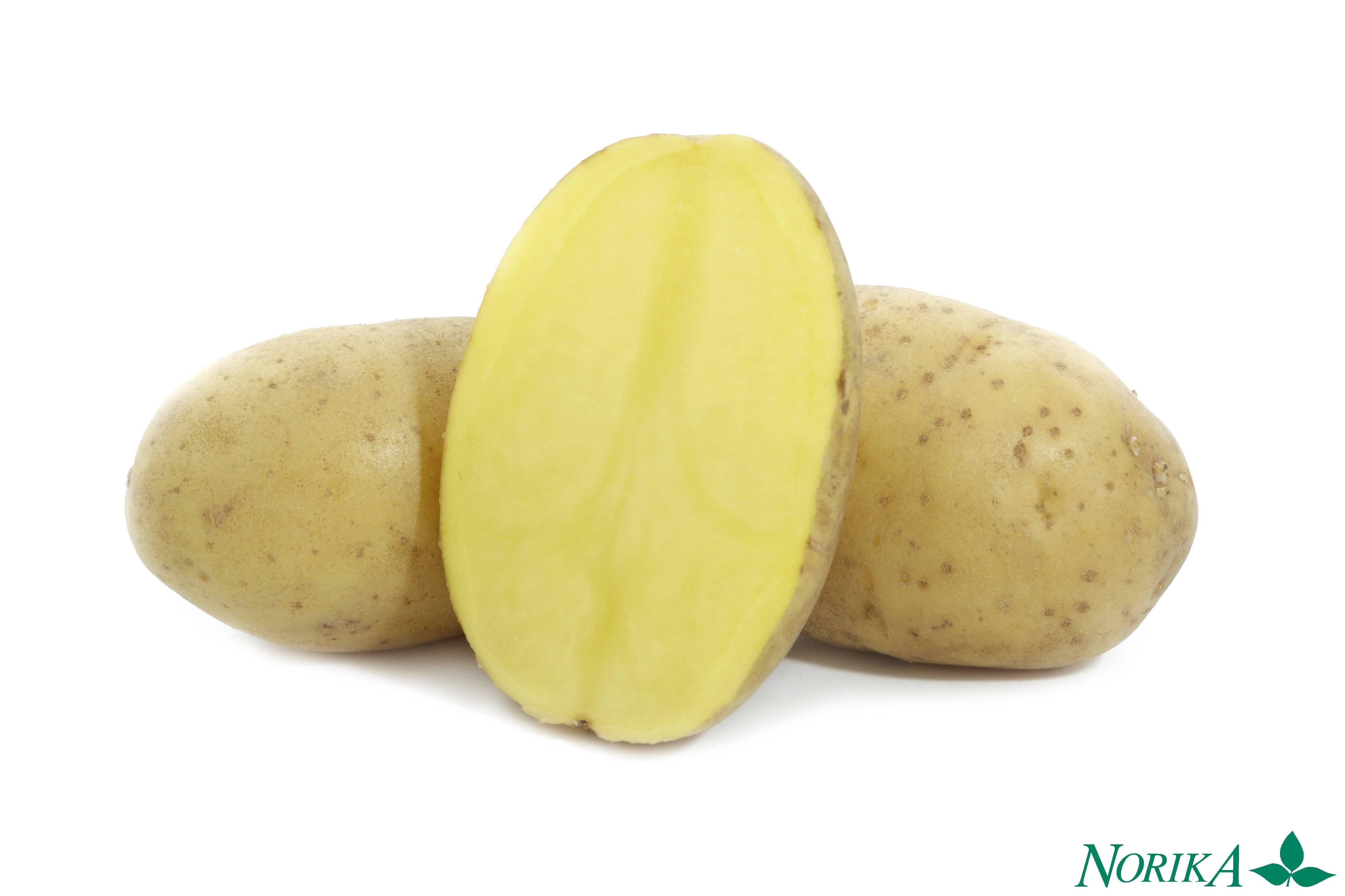 Подарок из германии — картофель «крона»: характеристика сорта и полезные советы