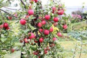 Описание яблони орловим