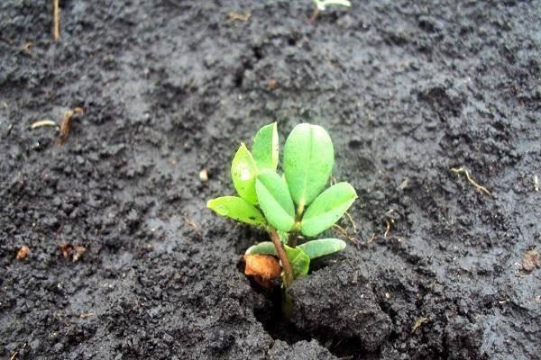 Как вырастить арахис на огороде в домашних условиях